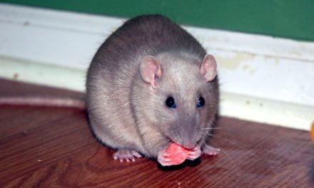 Adopting Your First Pet Rat