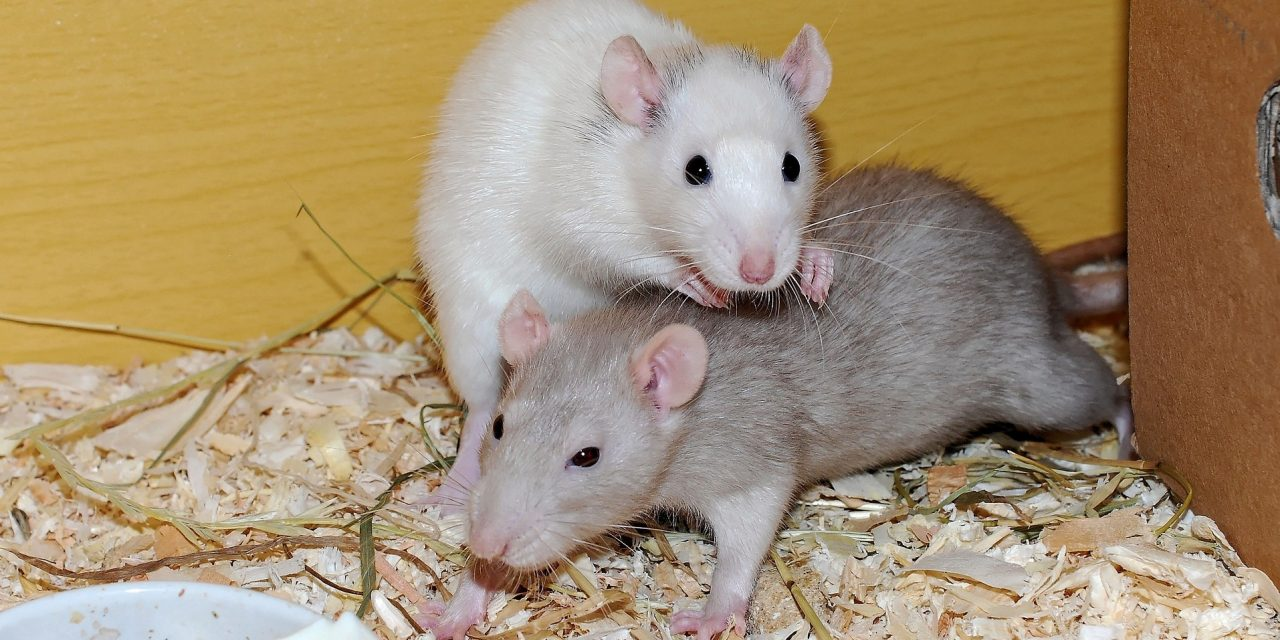 A Guide to Rat Introductions