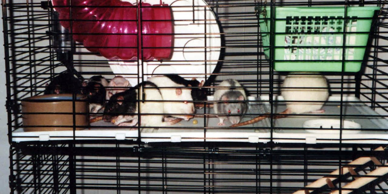 Habitats for Rats – Cages Versus Aquariums