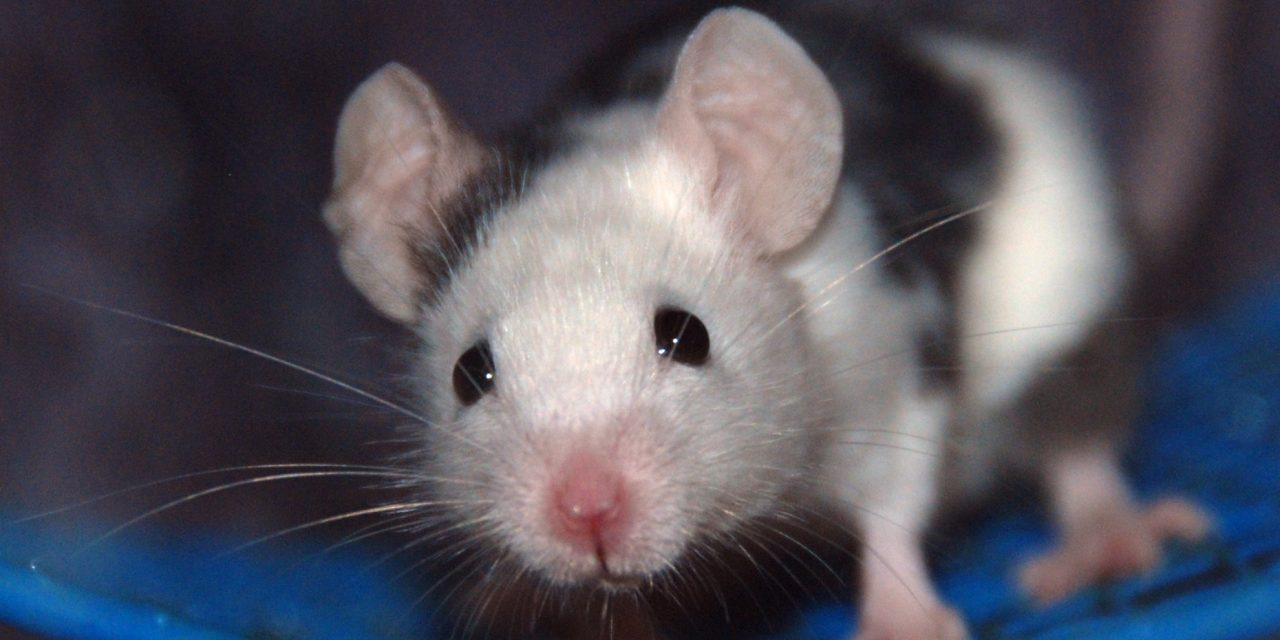 Rat and Mouse Toys and Cage Accessories