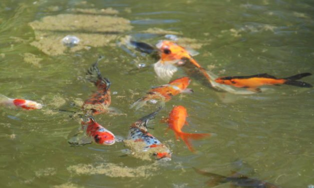 Setting Up a Goldfish Pond
