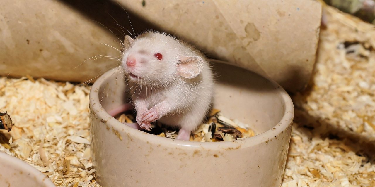 Diet and Exercise for Pet Rats