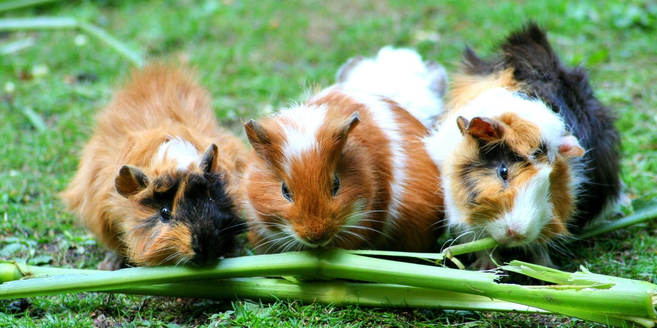 Adopting A Guinea Pig – Basic Care for Your Cavie