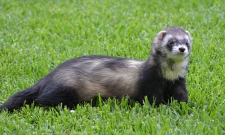 Owning a Pet Ferret