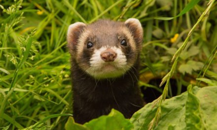 10 Interesting Ferret Facts