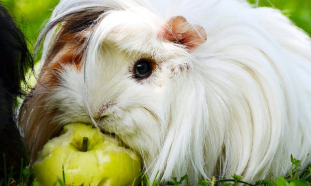 Guinea Pig Diet – Acceptable Foods & Foods to Avoid
