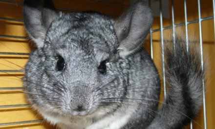 Pet Chinchilla Care