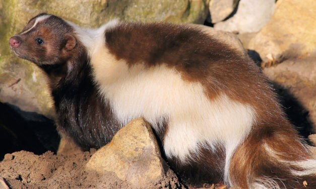 Owning A Pet Skunk