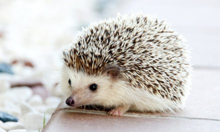 Pet Hedgehog Care
