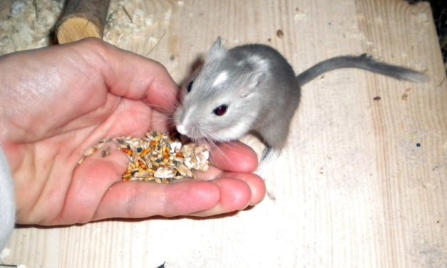 10 Pet Gerbil Do's and Don'ts