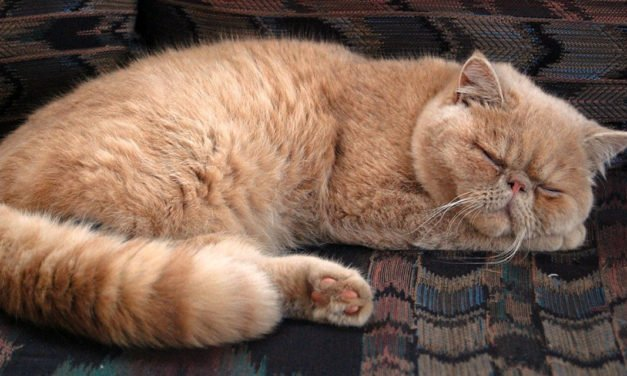 Pet Owner's Guide to Liver Disease in Felines