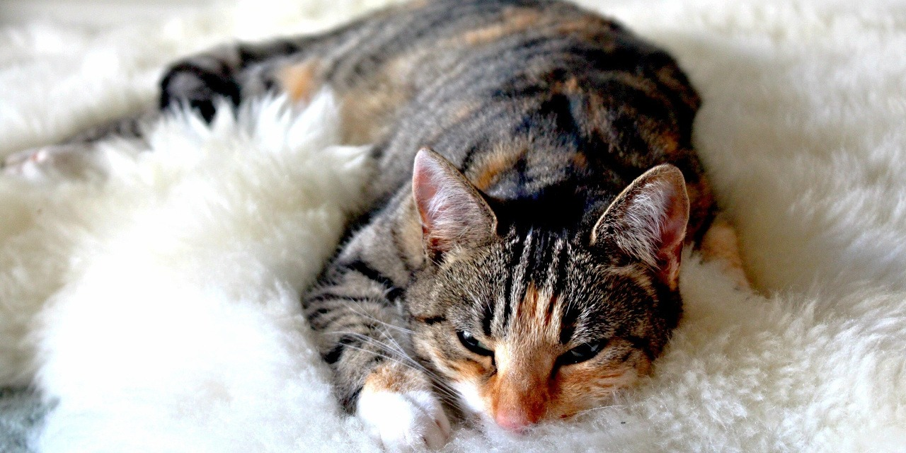 The Truth About Pancreatitis in Cats
