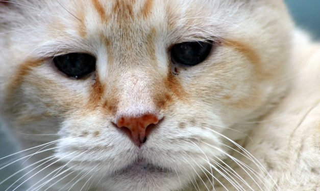 Everything you Need to Know About Feline Fibrosarcoma