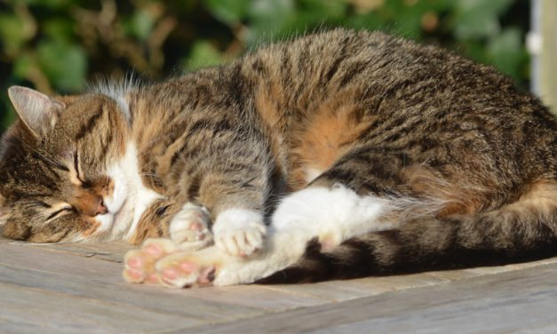 Owner's Guide to Hypothyroidism in Cats