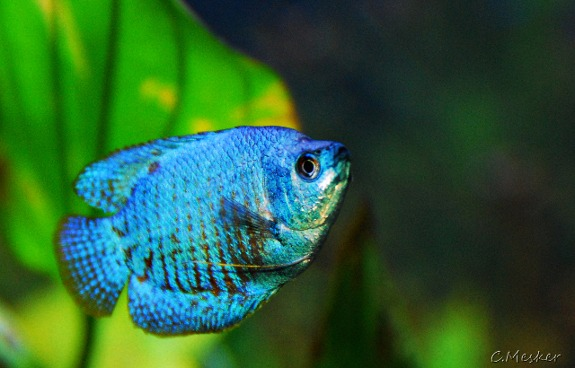 Neon blue dwarf gourami freshwater fish all our paws for Neon freshwater fish