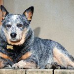 Australian Cattle Dog - Blue Heeler Dog Breed