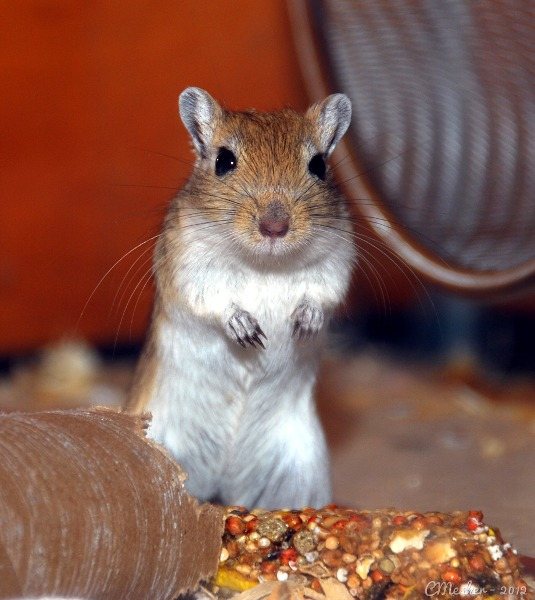 Pet Gerbil Diet and Care