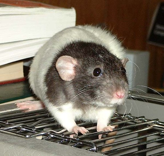 Pet Rat Diet and Care Information