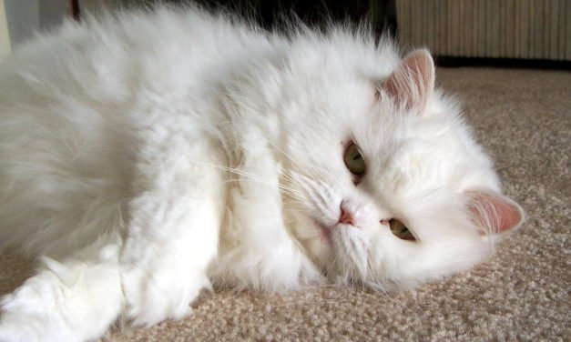 Cat Pregnancy 101 – Tips on Caring for a Pregnant Cat
