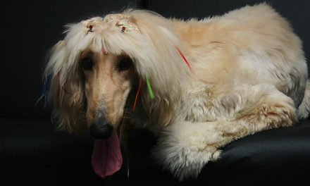 Afghan Hound Dog Breed Information