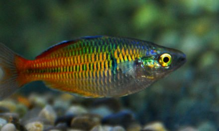 Boesemani Rainbow Fish