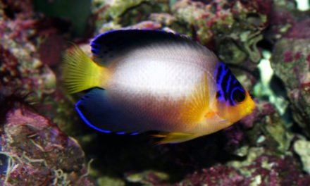 Multi-Color Angelfish