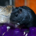 Pet Gerbil Care