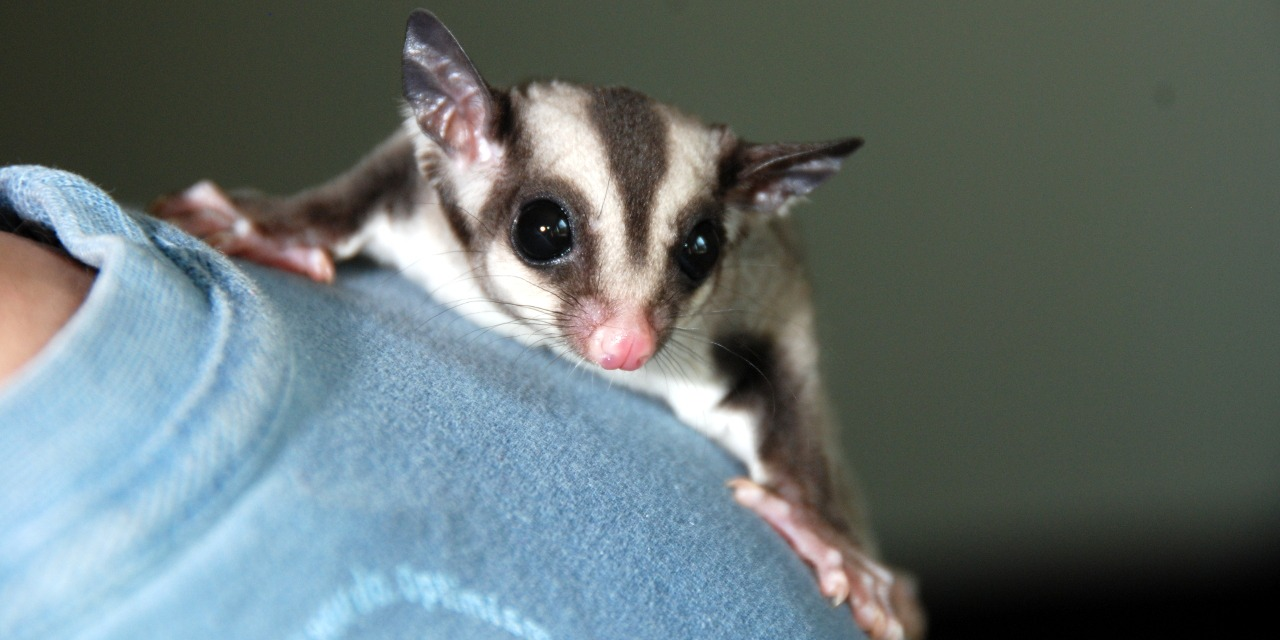 Sugar Gliders – What You Should Know