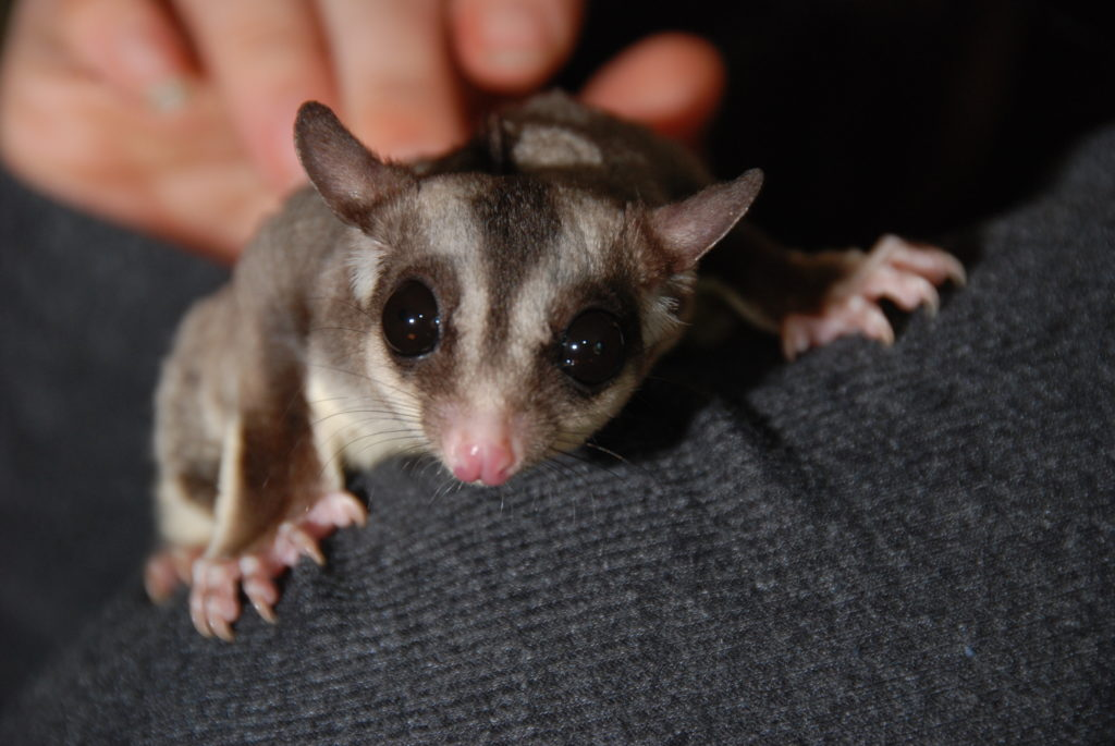 Sugar Glider Pet Information