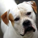 American Bulldog Breed