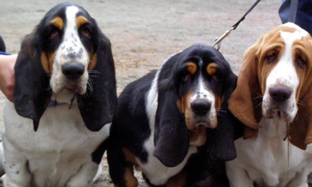 Basset Hound Dog Breed Information