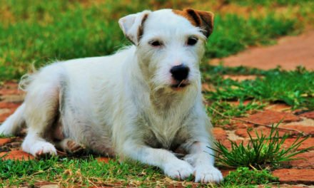 Jack Russell Terrier Dog Breed Information