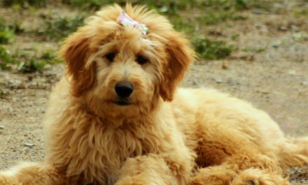 Goldendoodle Dog Breed Information
