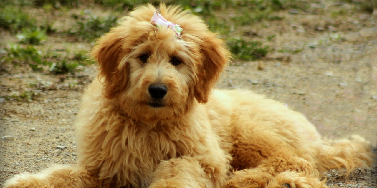 Goldendoodle Dog Breed Information All Our Paws