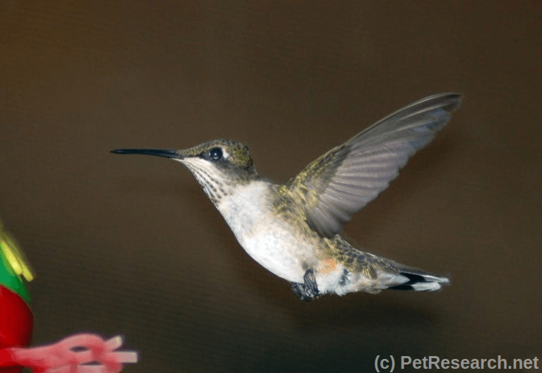 Making your own hummingbird food all our paws b hummingbird food recipe forumfinder Image collections