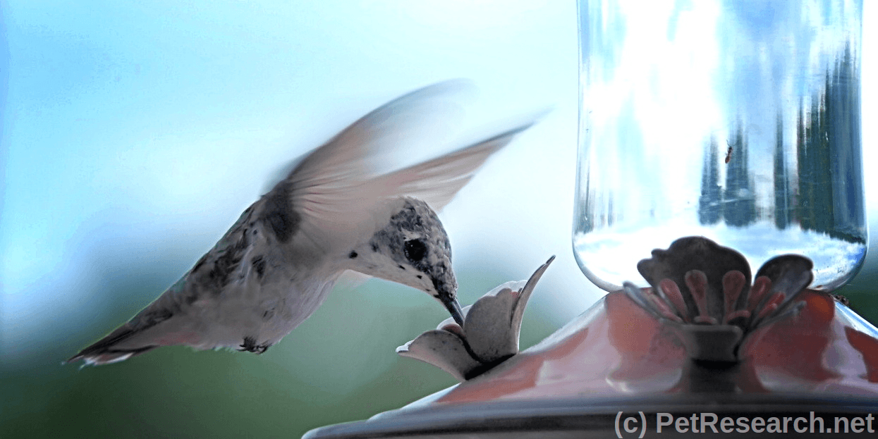 Making Your Own Hummingbird Food