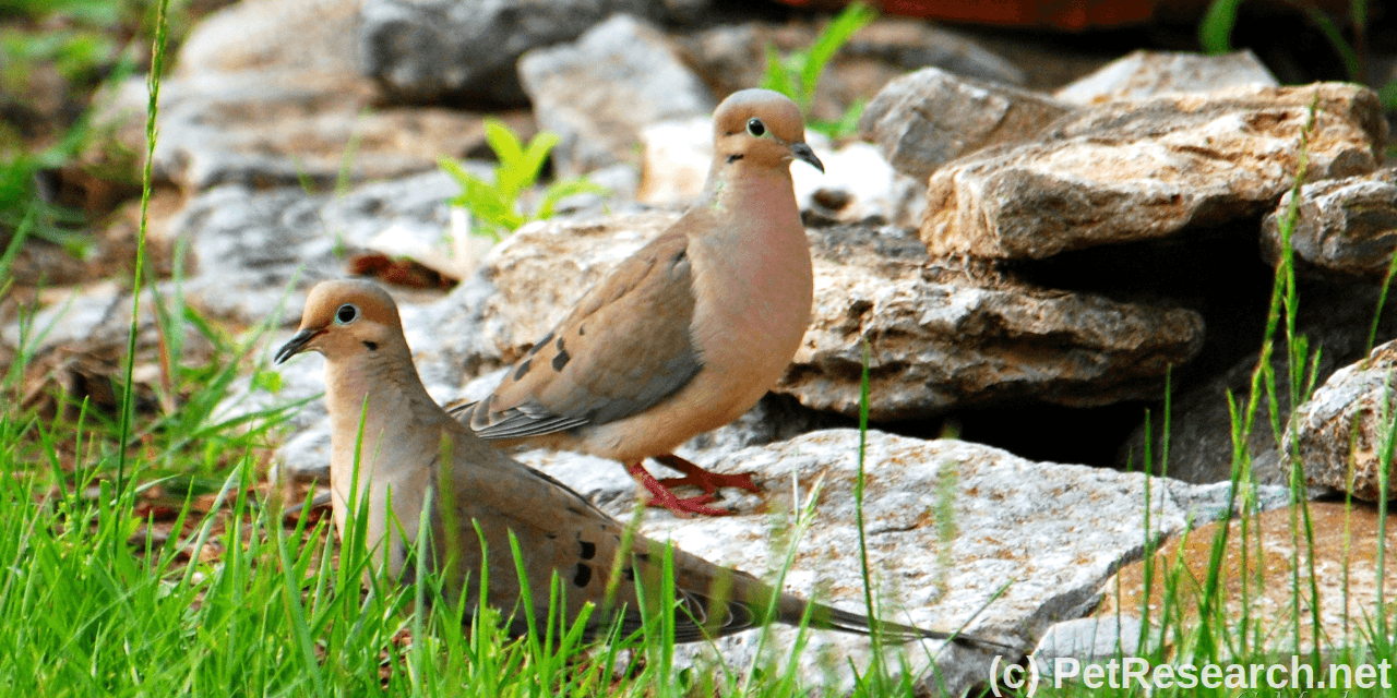 Mourning Doves and Their Young