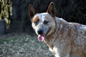 Red Heeler, Australian Cattle Dog, Queesland Heeler