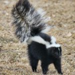 Pet Skunk Small Animal Profile