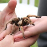 Pet Tarantula Care
