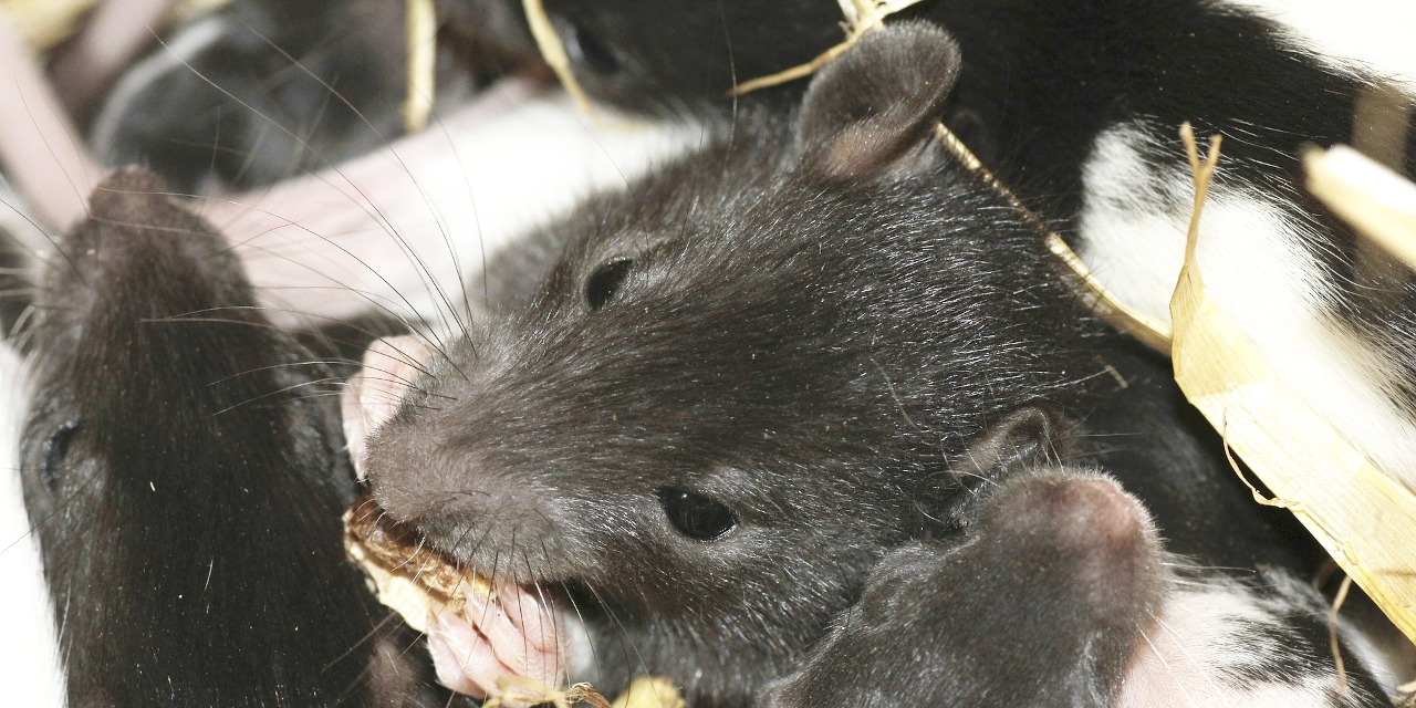 Do Rats Eat Clothing? - All Our Paws