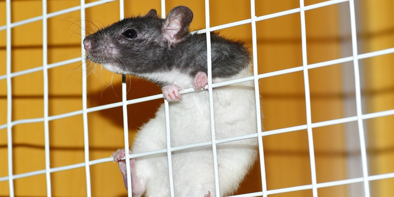 Controlling Bad Rat Smells - All Our Paws