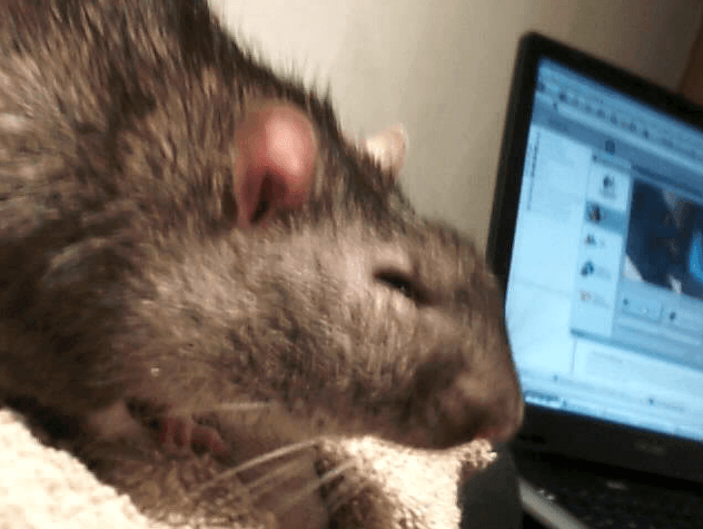 Rat with Swollen Face