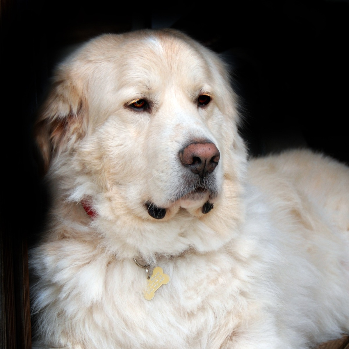 Buddy - Great Pyreneese / Golden Retriever - All Our Paws Mascot