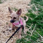 Claire the Chihuahua & L.B. the Chiweenie's First Tandem Leash Walk