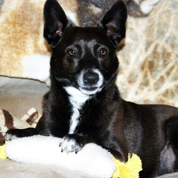 Lois Lane - Australian Kelpie Mix - All Our Paws Mascot