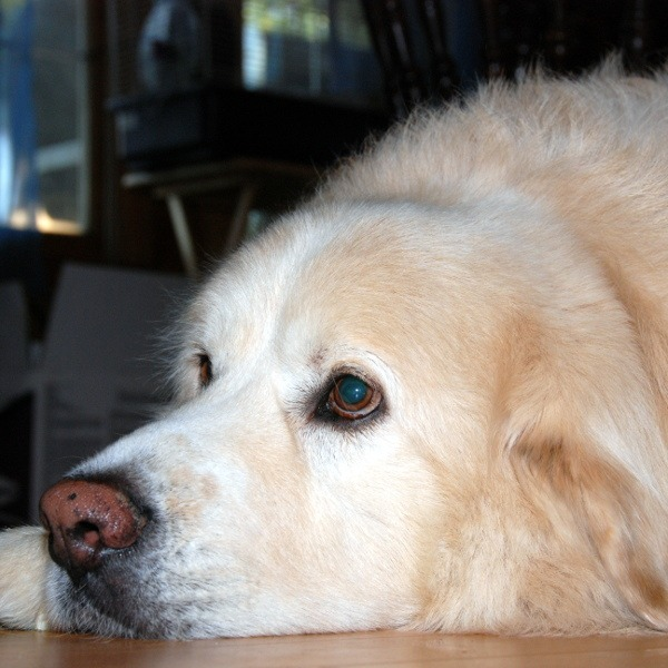 Buddy - Great Pyrenees / Golden Retriver - All Our Paws Mascot