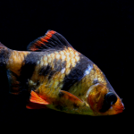Male Tigerbarb Tropical Fish