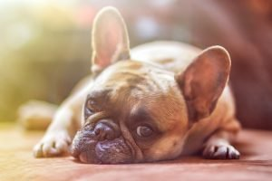 French Bulldog Health Information