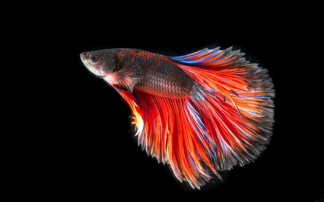 Pet blog all our paws for Betta fish temp